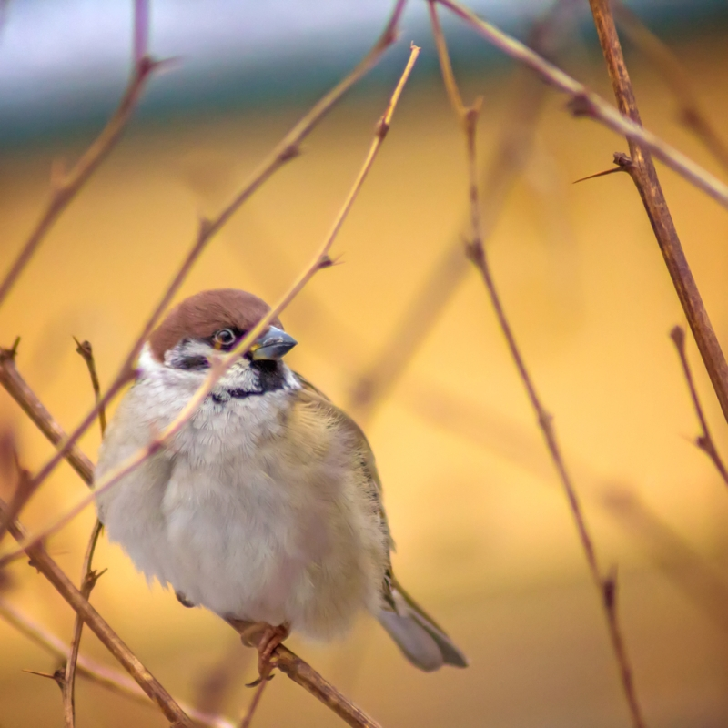 Sparrow sitting on a twig
