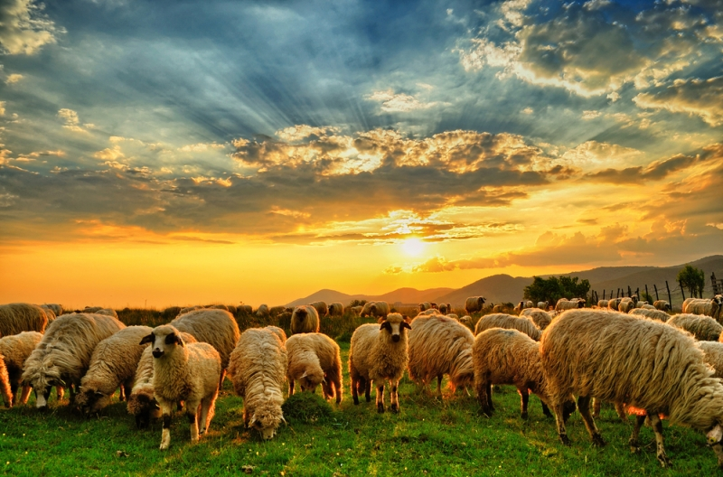 Sheep peacefully grazing in a field at Sunrise